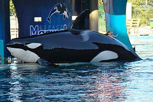 Marineland orca